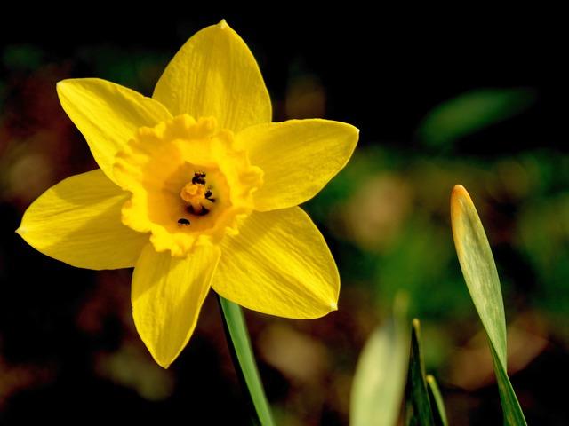 Narciso fiore giallo foto gratis su pixabay for Narciso giallo