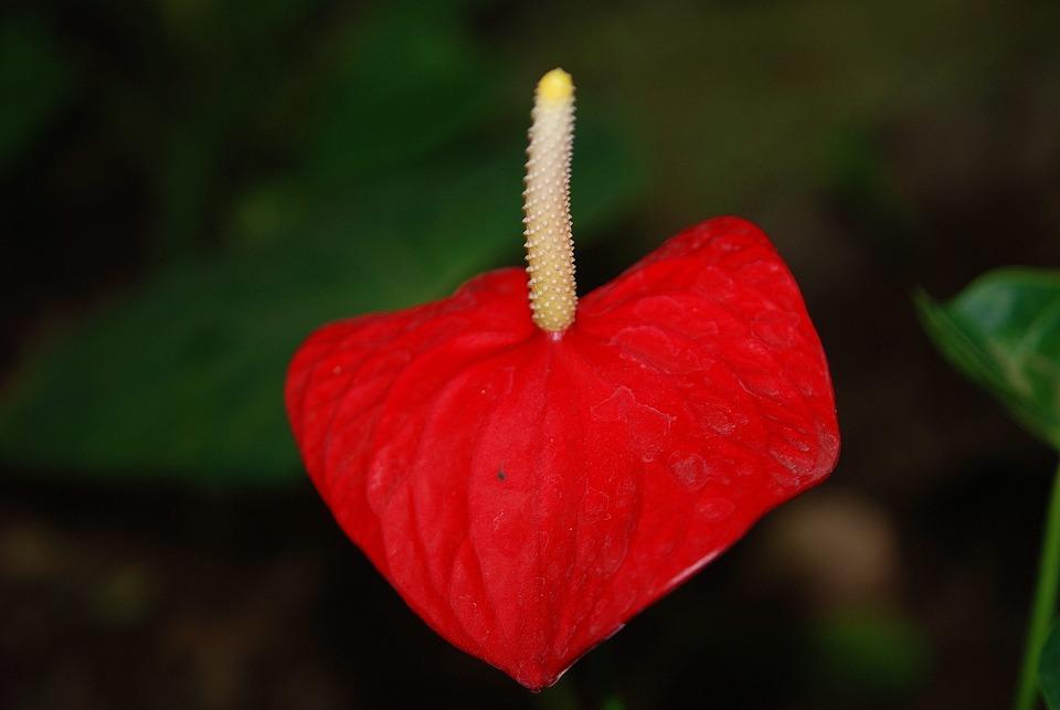 plantes fleur rouge photo gratuite sur pixabay. Black Bedroom Furniture Sets. Home Design Ideas