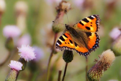 Papillon, Insectes, Pré, Petite Tortue