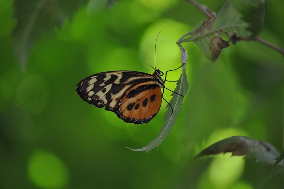 昆虫, 蝴蝶, 叶子, 翼, 野生动物, 甲虫,昆虫, 光明, 小, 微妙, 脆弱