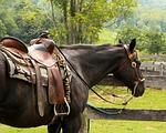 horse, western saddle