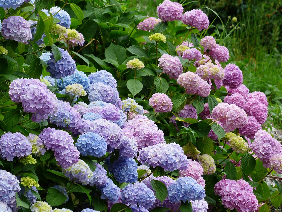 アジサイ, 花, 青, バイオレット, ピンク, 紫, ブッシュ, あじさい, 温室効果アジサイ, アジサイ科