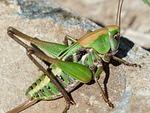 grasshopper, green, close