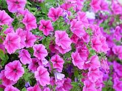 virágzó rózsaszín petónia