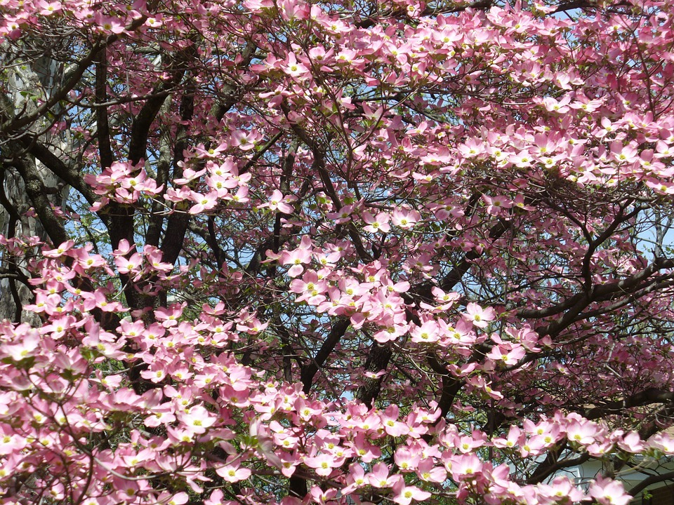 Dogwood tree trunk free photo on pixabay dogwood tree trunk leaves branches nature mightylinksfo