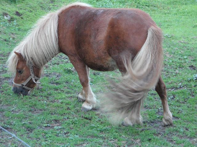 Free Photo Pony Shetland Pony Pasture Graze Free