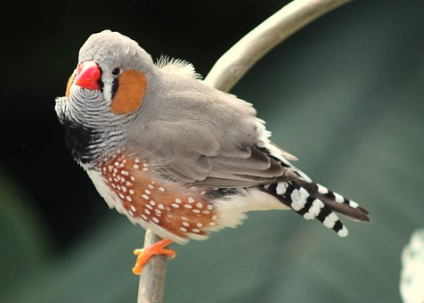 Bird, Nature, Animal, Zebra Finch, Finch