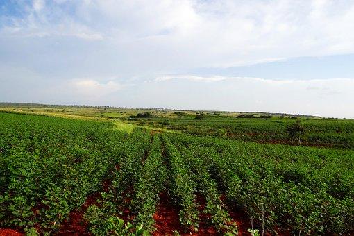 Cultivation, Cotton, Maize, Valley