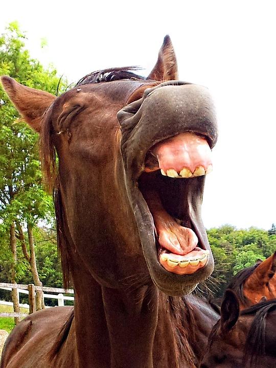kostenloses foto pferd hengst tier lachend. Black Bedroom Furniture Sets. Home Design Ideas