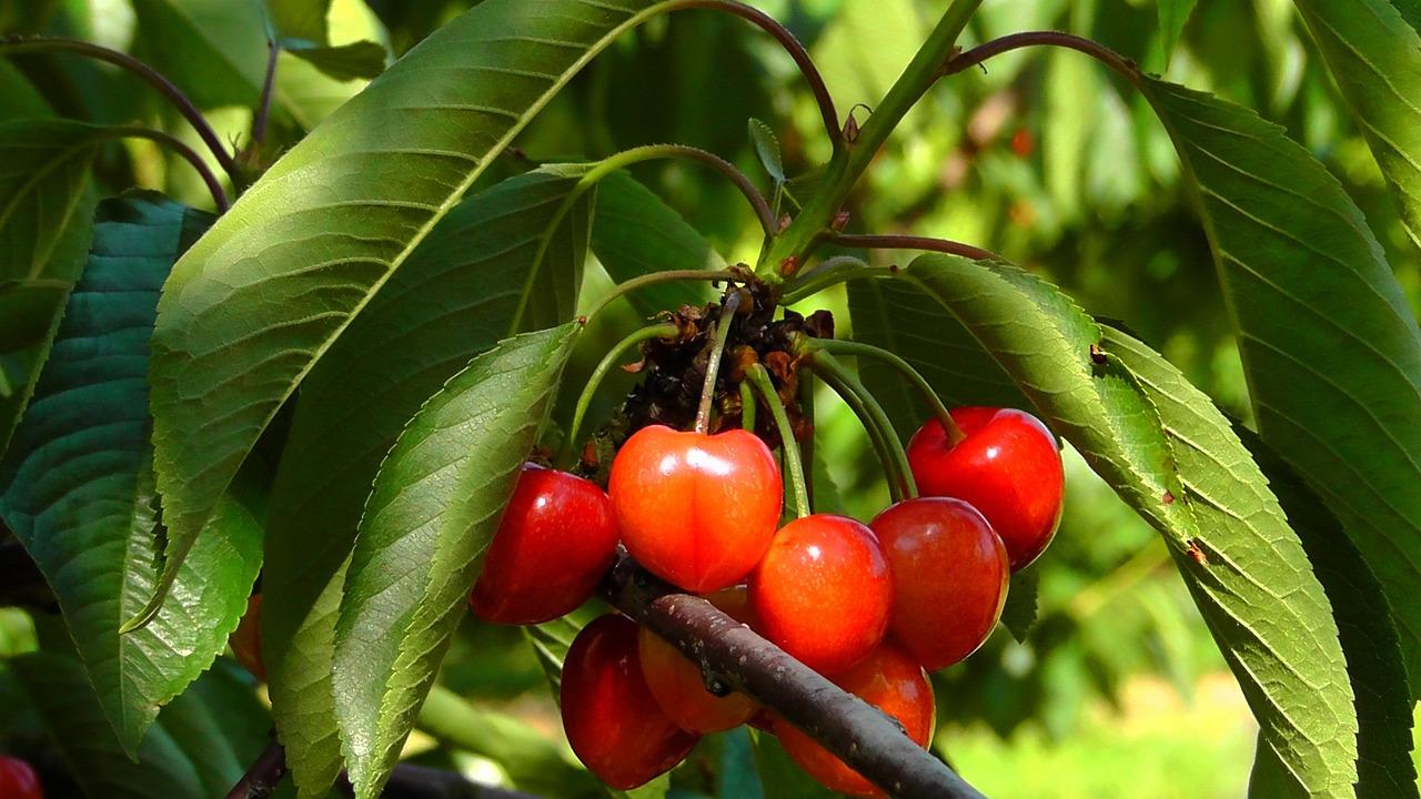 такие юбки картинки деревьев с фруктами и ягодами работы остеклению