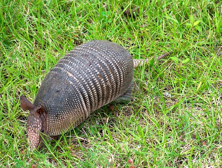 Armadillo Animal Florida Wildlife Wild Zoo