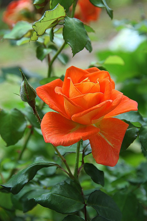 Photo gratuite: Rose, Orange, Fleur, Plantes - Image