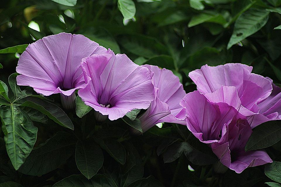 morning glory floral plants  u00b7 free photo on pixabay