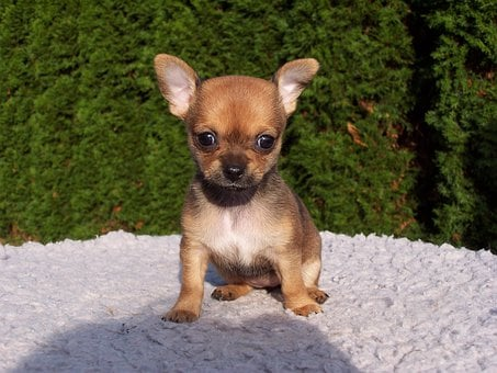 Animals, Dogs, Puppies, Chihuahua