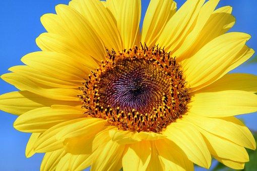 해바라기 꽃에 대한 이미지 검색결과
