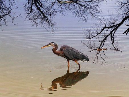 Blue Heron, Water Bird, Bird, Feathered