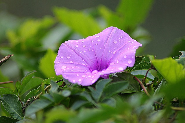 Free photo: Flower, Morning Glory, Floral - Free Image on ...