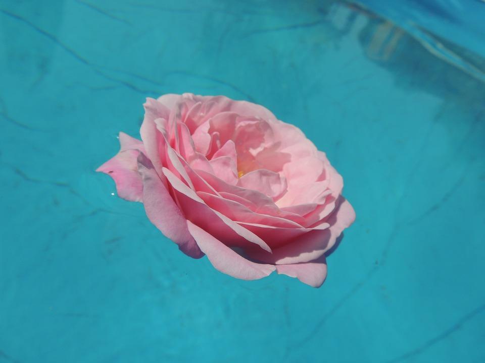 rose wasser rosa kostenloses foto auf pixabay. Black Bedroom Furniture Sets. Home Design Ideas