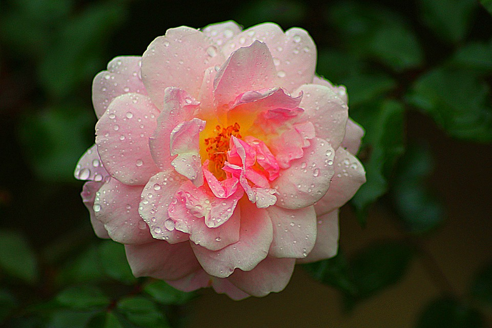 Rose, Roz, Floare, Natura, Romantism, Dragoste