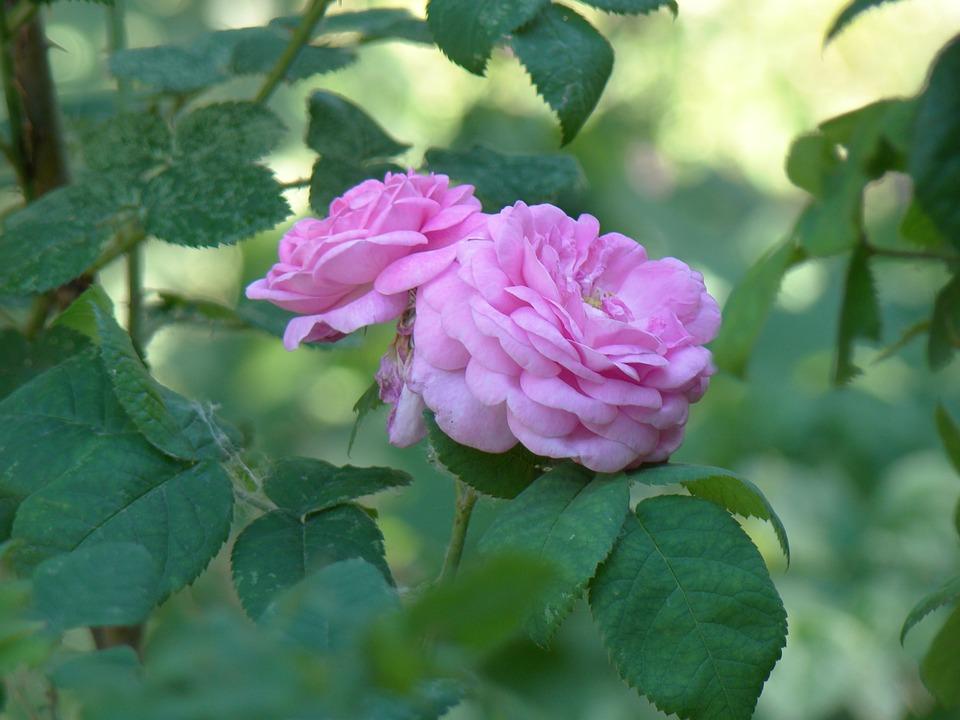 Rose Musquee Fleurs Les Photo Gratuite Sur Pixabay