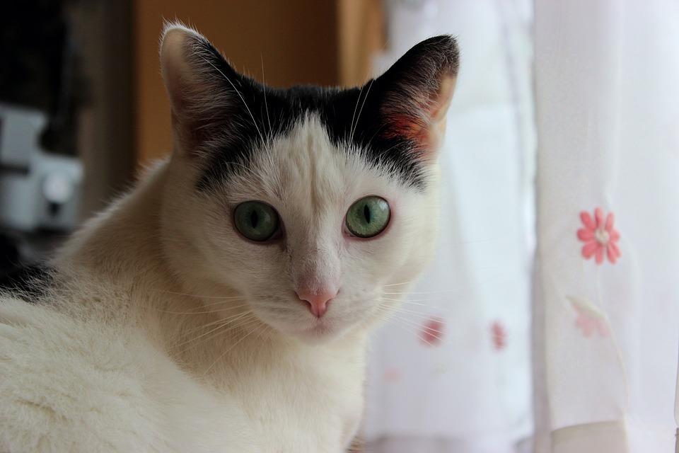 6035cb9610c7 Γάτα Μαύρο Λευκό - Δωρεάν φωτογραφία στο Pixabay