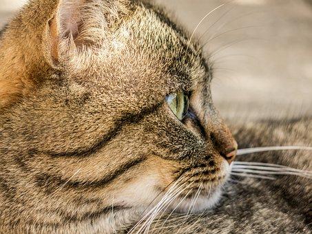 Cat, Tiger, Animal, Domestic Cat, Adidas