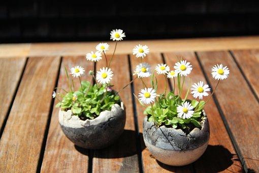 Gänseblümchen, Blume, Blumen, Natur