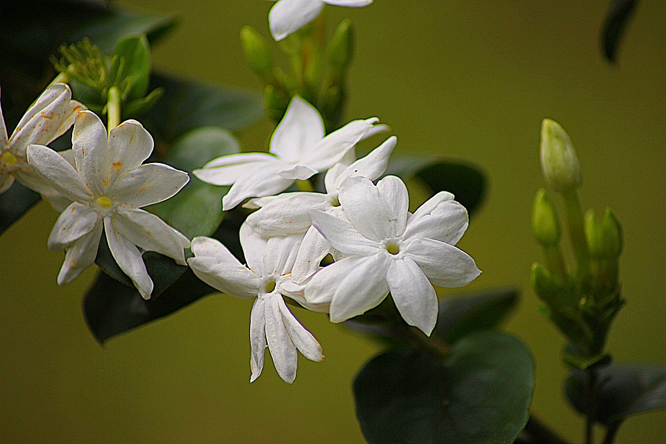 Jasmine, Floral, Plant, Natural, Blossom, Bloom, Petal