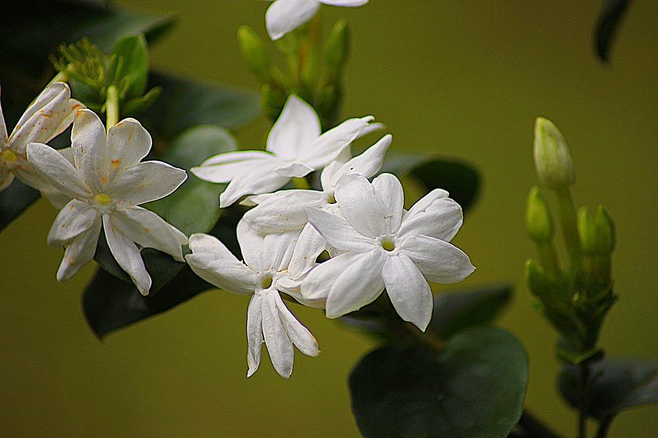 Jasmine, Floral, Plant, Natural, Blossom, Bloom, Petal