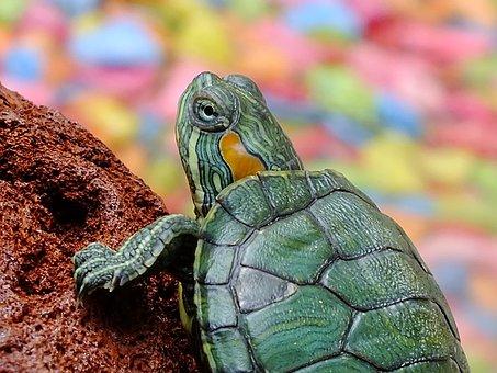Turtle, Animals, Water Creature