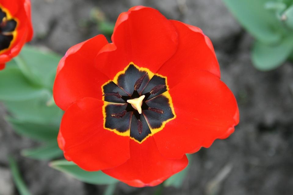 Poppy flower blooming free photo on pixabay poppy flower blooming red war symbolic post war mightylinksfo