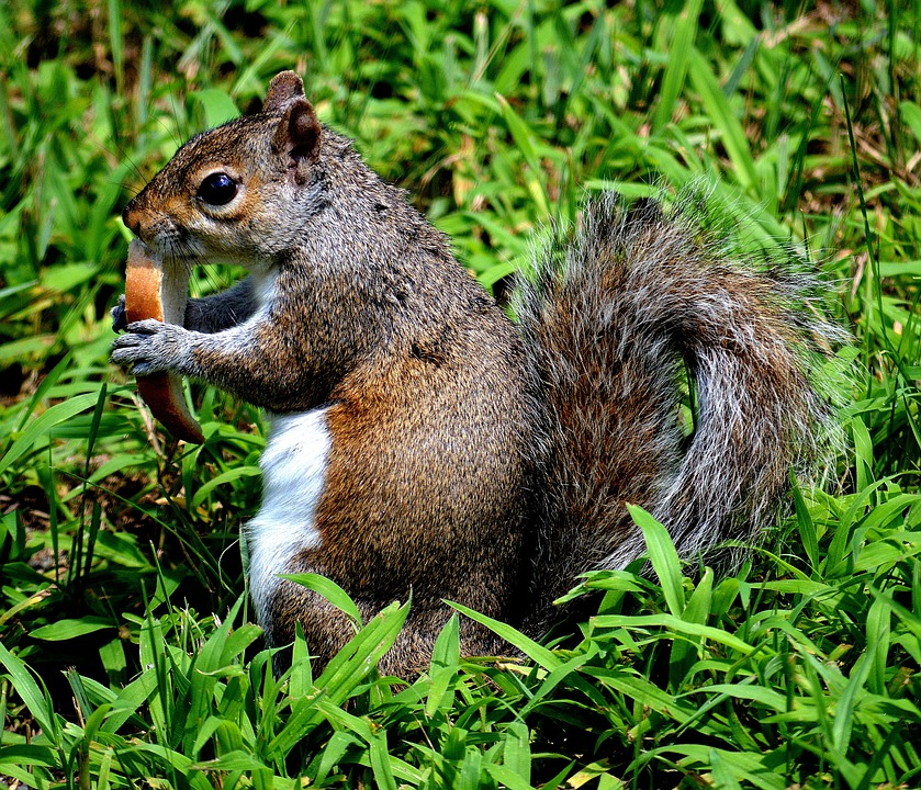 Back Yard, Grass, Nature, Outside, Squirrel, Animal