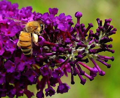 蜂, 働く蜂, 自然, 花粉, マクロ, 花, 庭, ネクター, 植物, 昆虫