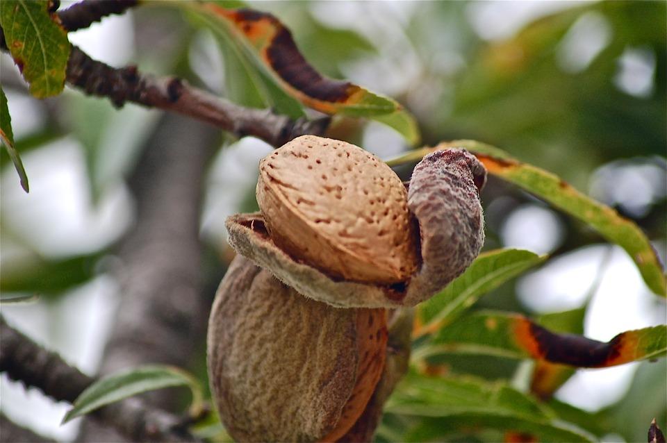 Fruits Tree Almond Free Photo On Pixabay