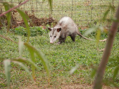 Possum Opossum Marsupial Animal Wildlife W