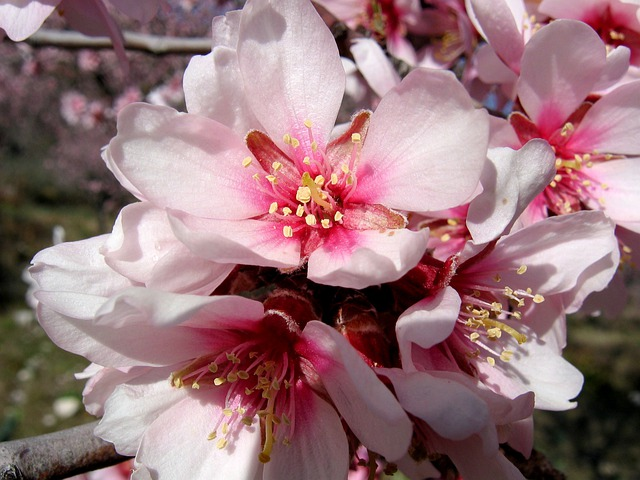 Fleurs Amandier Arbre 183 Photo Gratuite Sur Pixabay