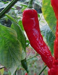 chili, red, bright