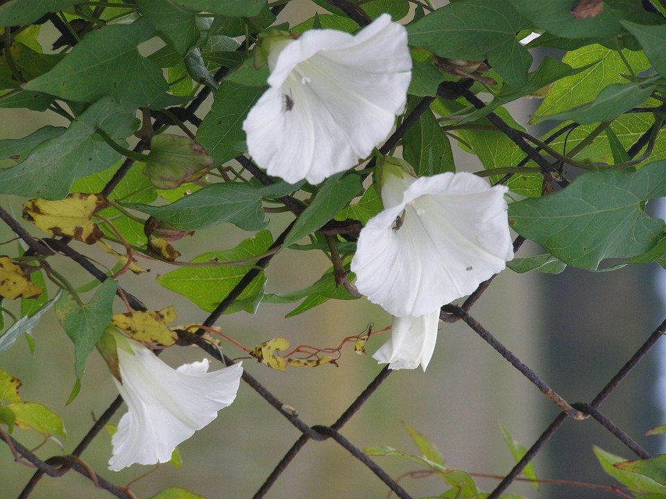Free photo: Morning Glory, Fence, White, Flower - Free ...