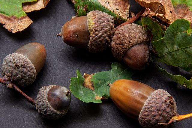 White Oak Fruit ~ Free photo oak fruit acorn image on