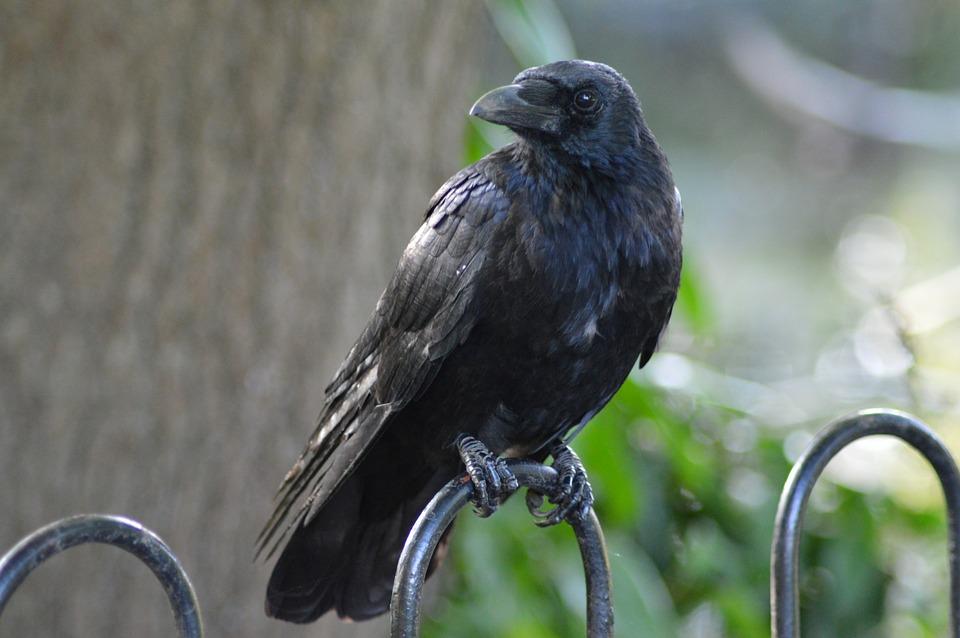 raven black  u00b7 free photo on pixabay free vector bird nest free vector bird silhouette