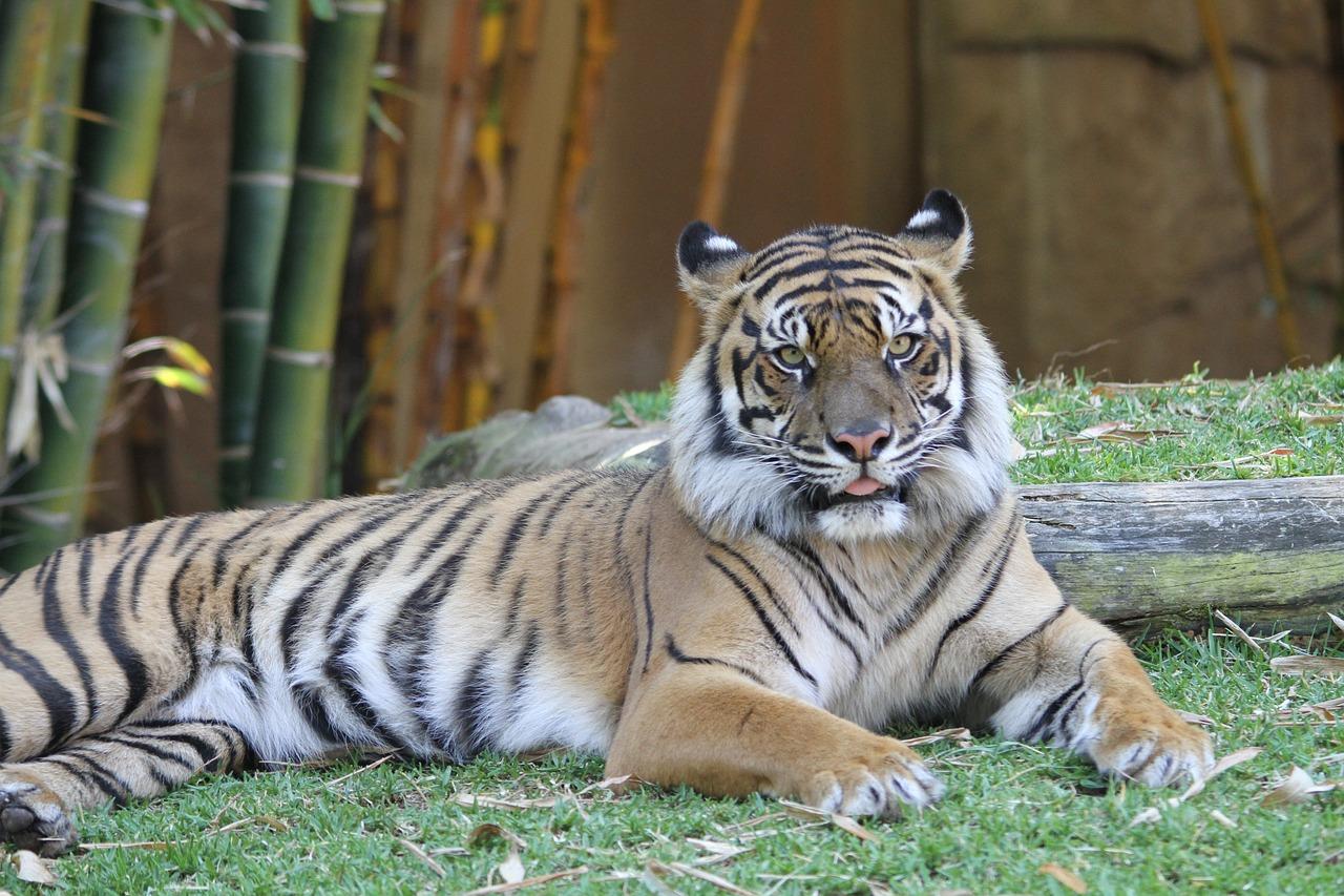 выборе дверей тигр и кот фото также беру