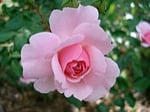 rose, rosaceae, flower