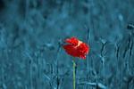 poppy, papaver, meadow