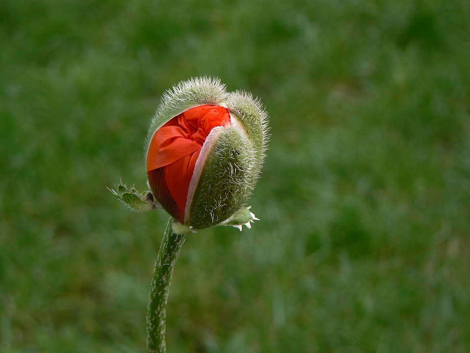 red, poppy  free images on pixabay, Beautiful flower