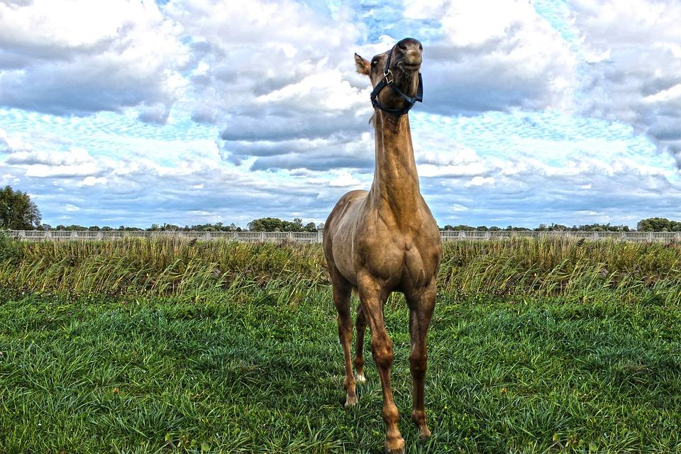 Quarter Horse, American, Foal, Colt, Animal, Farm