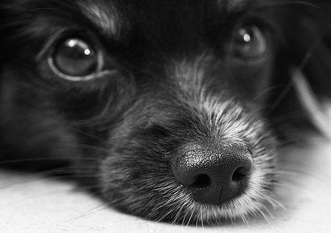 Dog, Puppy, Papillon, Eyes, Snout, Nose