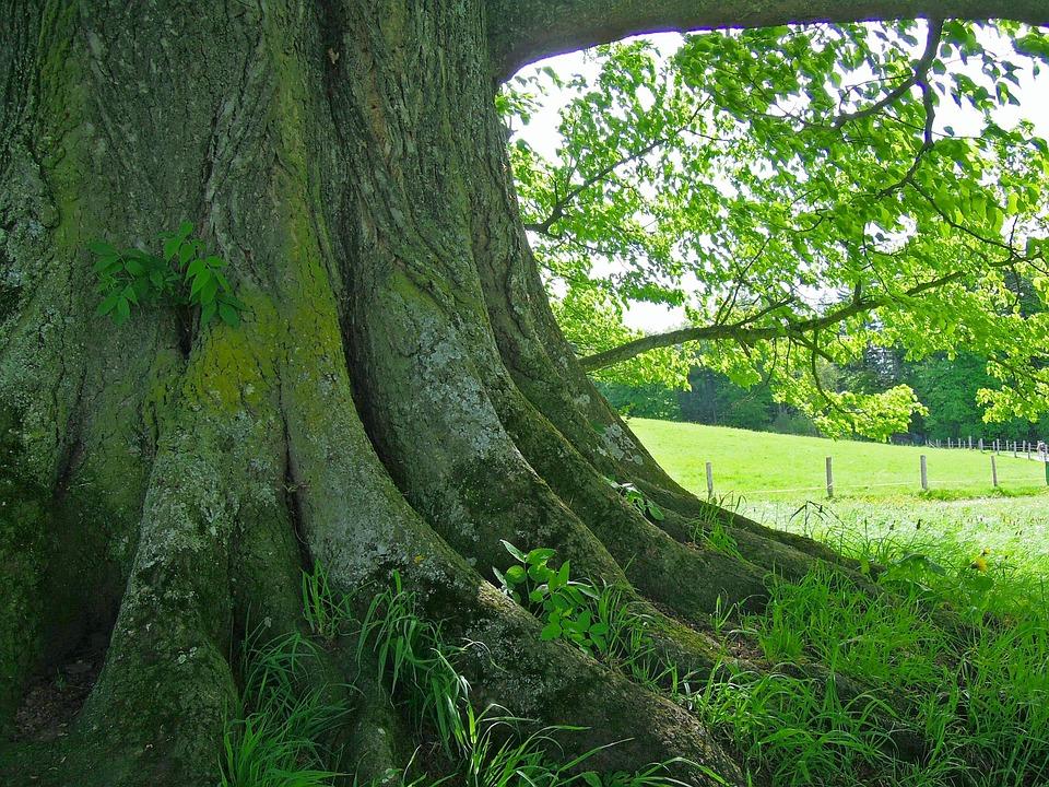 Wurzel Baum