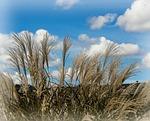 ornamental grass, decorative