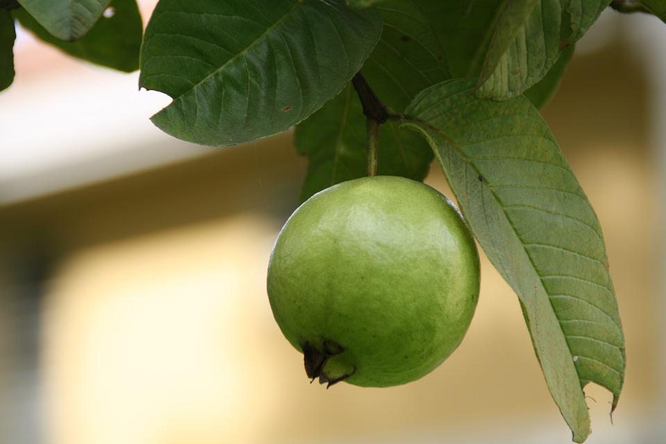 Guava, Green, Fruits, Edible, Plants, Trees, Greenery