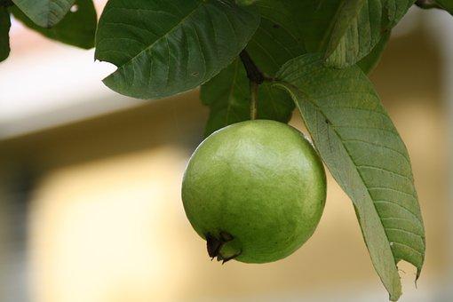 Guava, Green, Fruits, Edible, Plants
